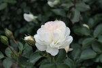 IMG_4160.JPG  роза флорибунда Стефани Баронин цу Гуттенберг (Stephanie Baronin zu Guttenberg), Tantau, 2010