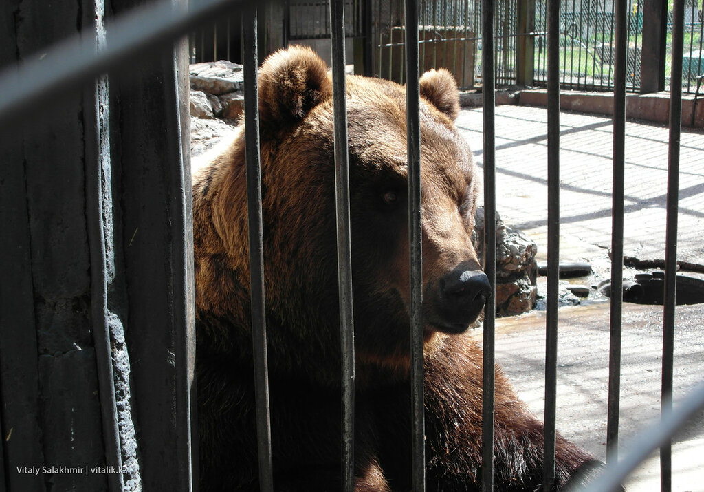 Бурый медведь в зоопарке Шымкент