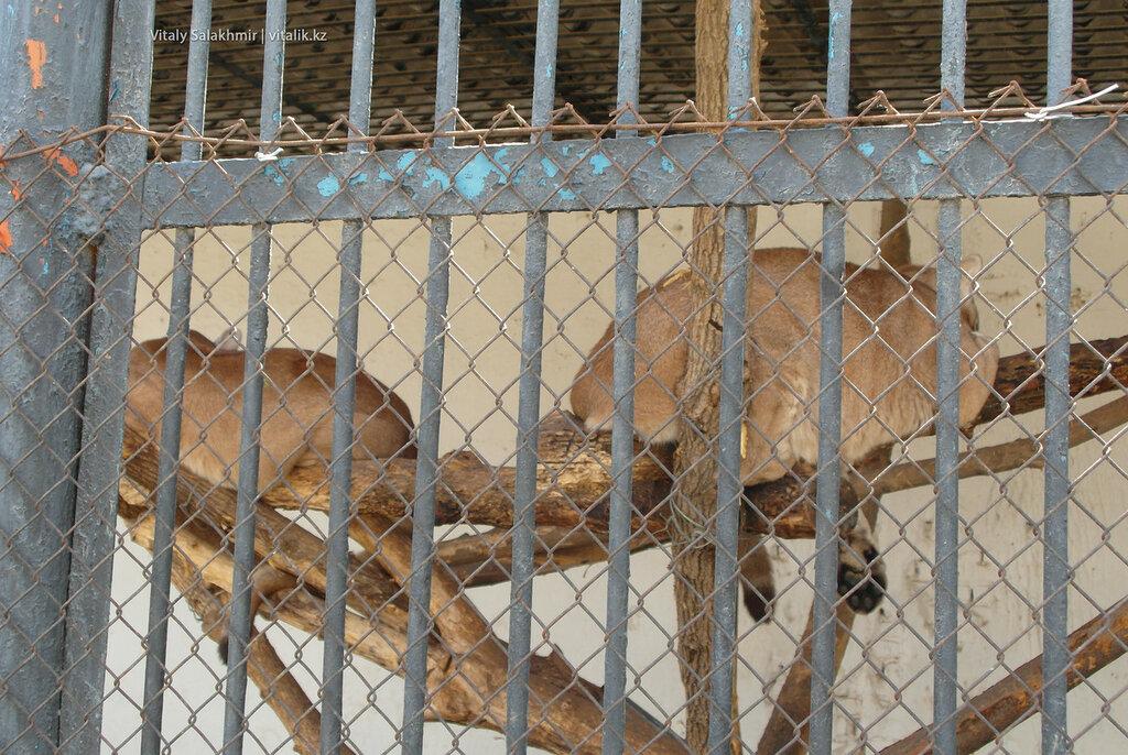 Пумы, зоопарк Шымкента 2018