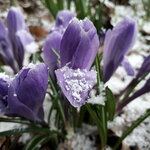Апрельский снег...