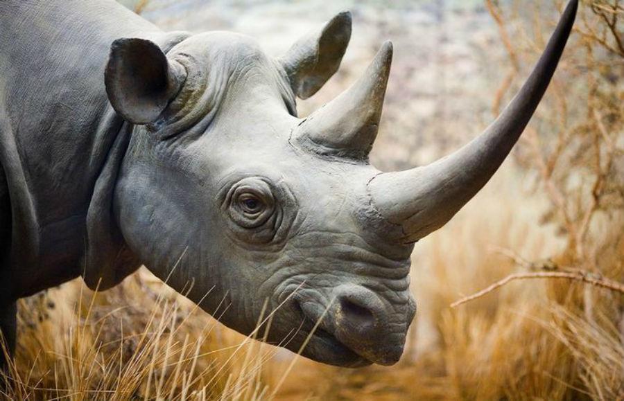 Рог носорога В начале XX века численность носорогов на Земле составляла около полумиллиона. К началу