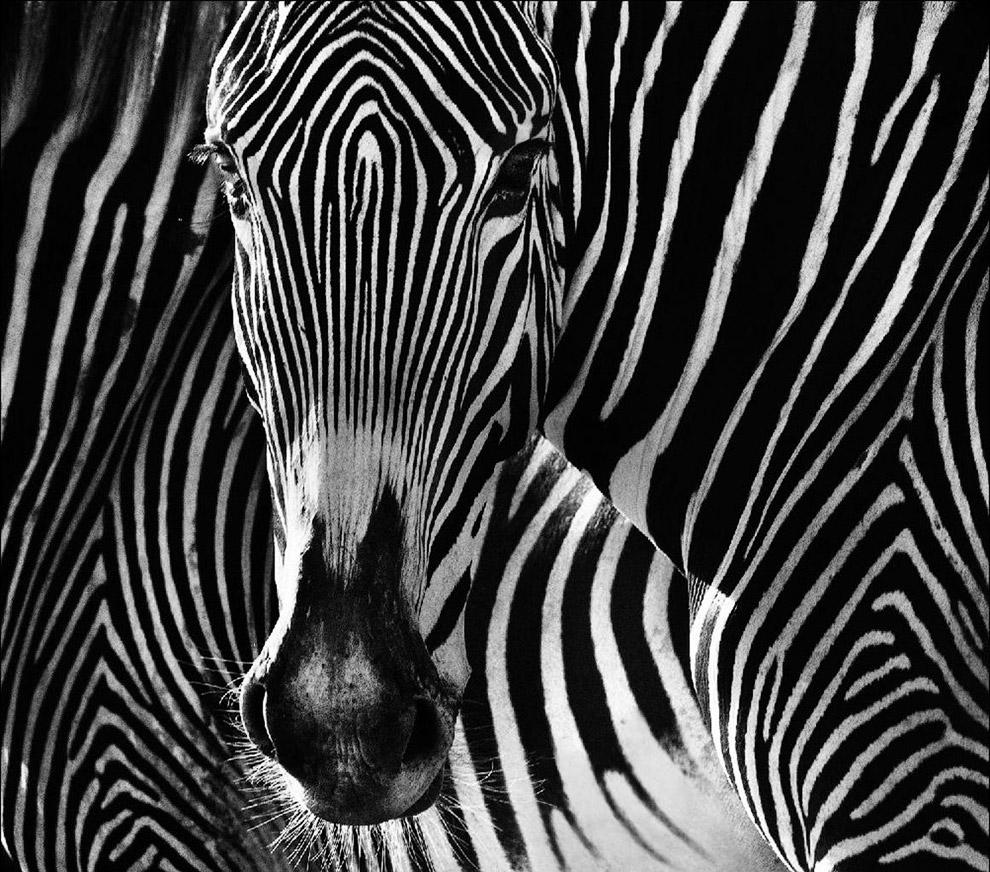 Впрочем, не все животные, которых во время путешествия фотографировал David Yarrow, опасны. Это