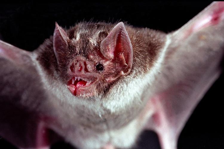 «Подружки» летучих мышей-вампиров помогают имвыжить при потере родственников