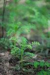 Сердечник недотрога - Cardamine impatiens (Brassicaceae)