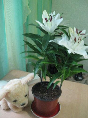 лилия в вазоне.jpg