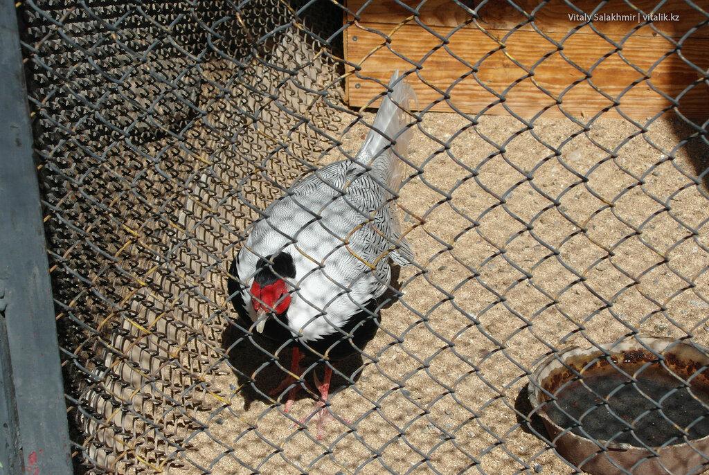 Серебрянный фазан, зоопарк Шымкента