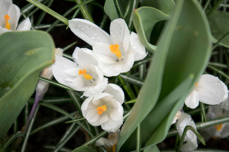 the White snowdrops in the botanical garden