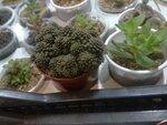 monanthes subcrassicaulis