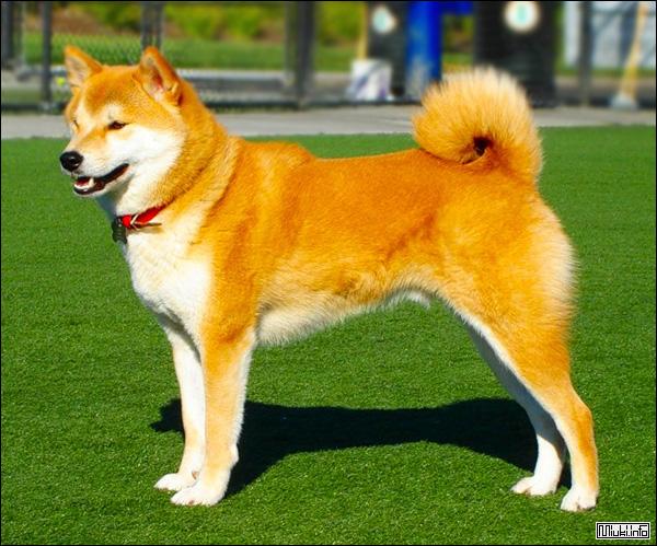 Хоккайдо (японская порода собак)