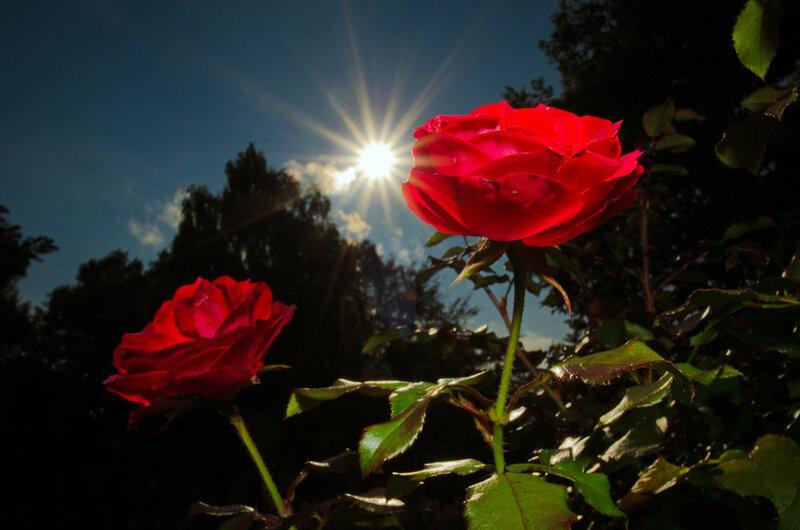 Красивые фразы о розах