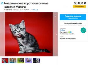 фото цена на американскую короткошерстную кошку