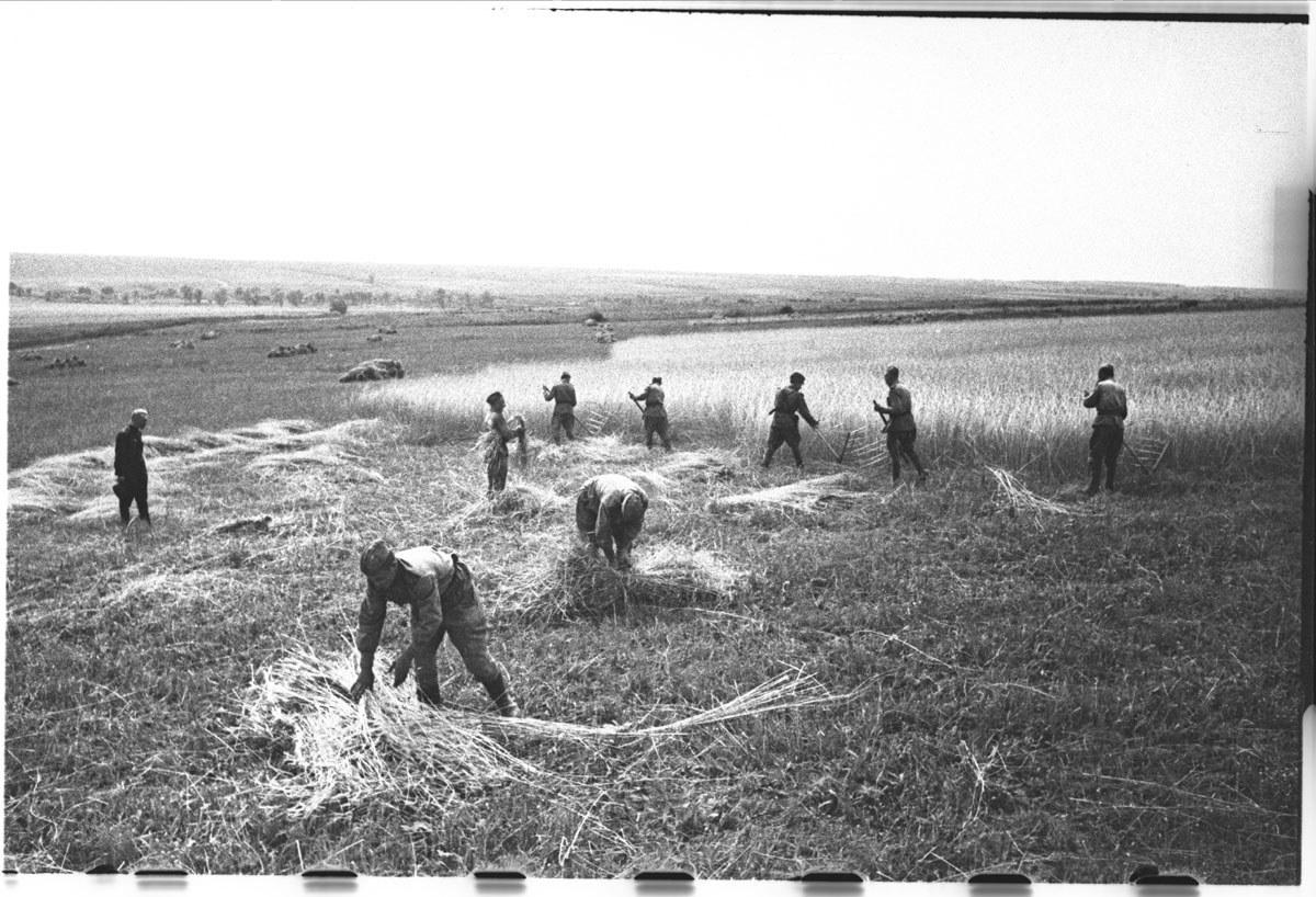 Взвод ст. лейтенанта ничкова убирает хлеб в колхозе им.чапаева курская обл.jpg