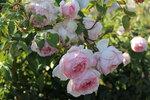IMG_5832.JPG  роза кустарниковая Зе Веджвуд роуз (The Wedgwood Rose ) Austin, 2009