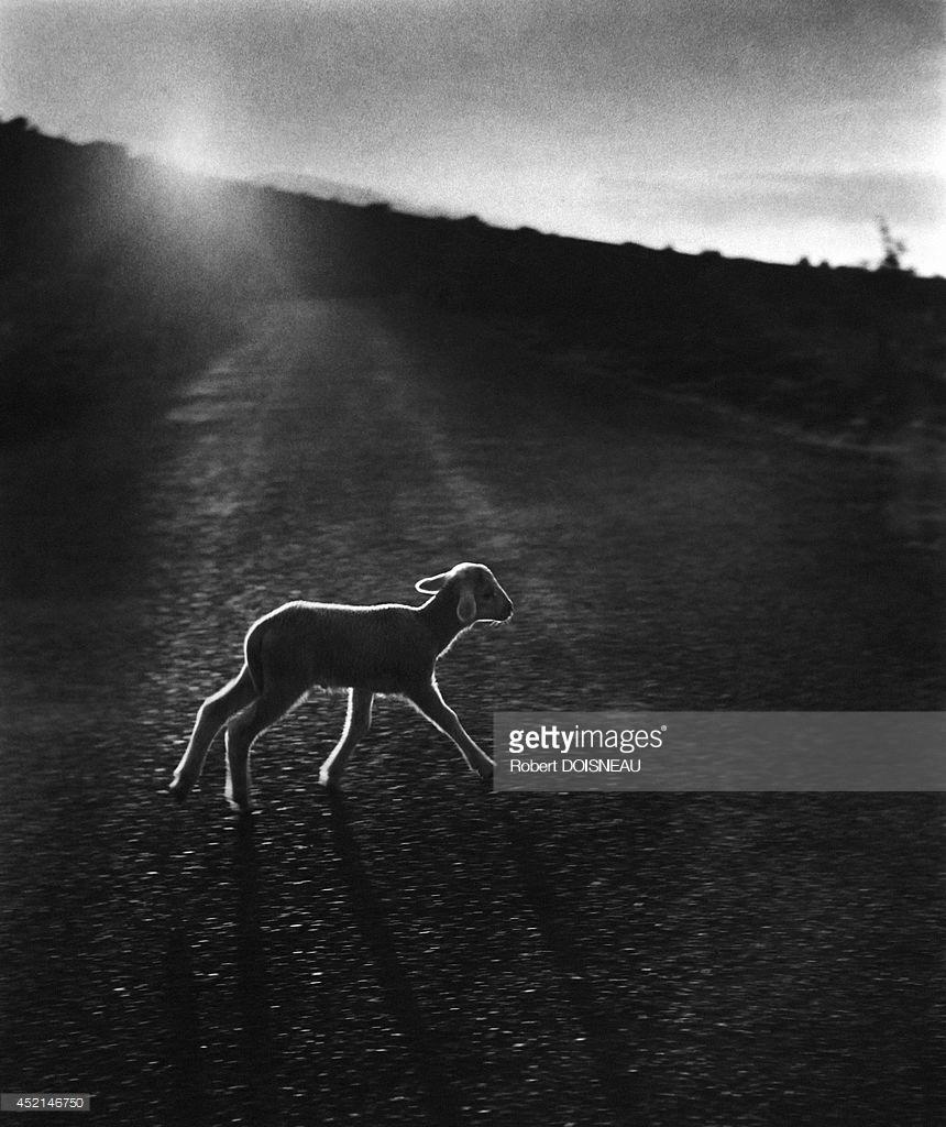 1958. Маленький ягненок, бегущий по дороге во время сезонного перегона на летние пастбища возле Вальсберга 25 июня