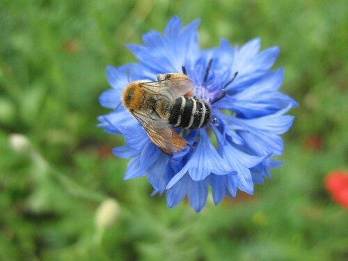 Пчёлка на васильке