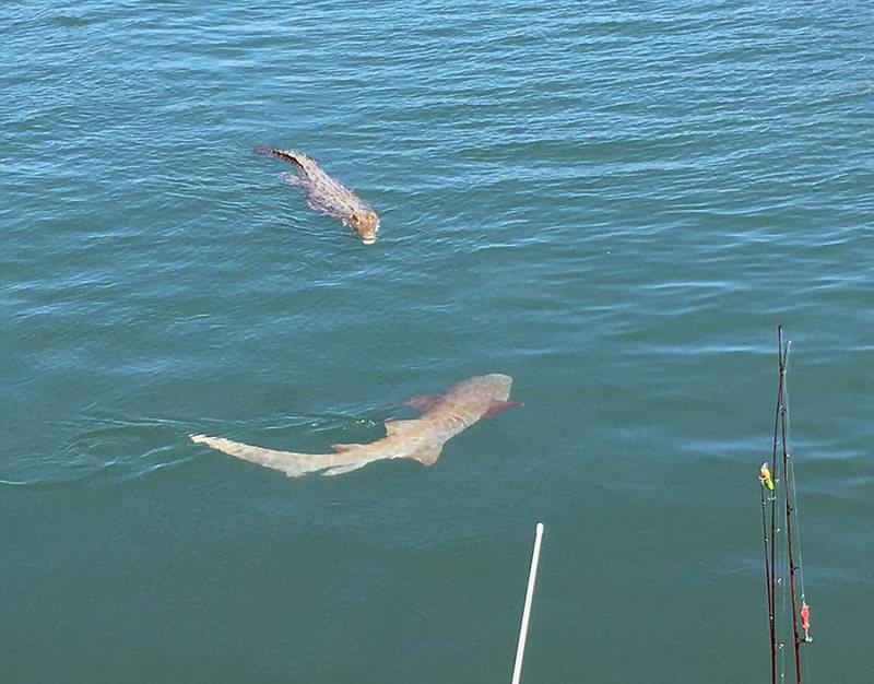 Акулы и морской крокодил окружили лодку пары во время рыбалки в Австралии