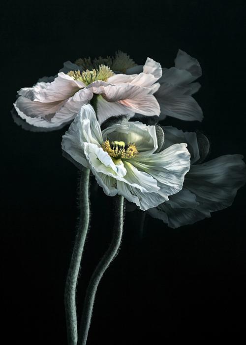 Маки фотографа Christine Ellger