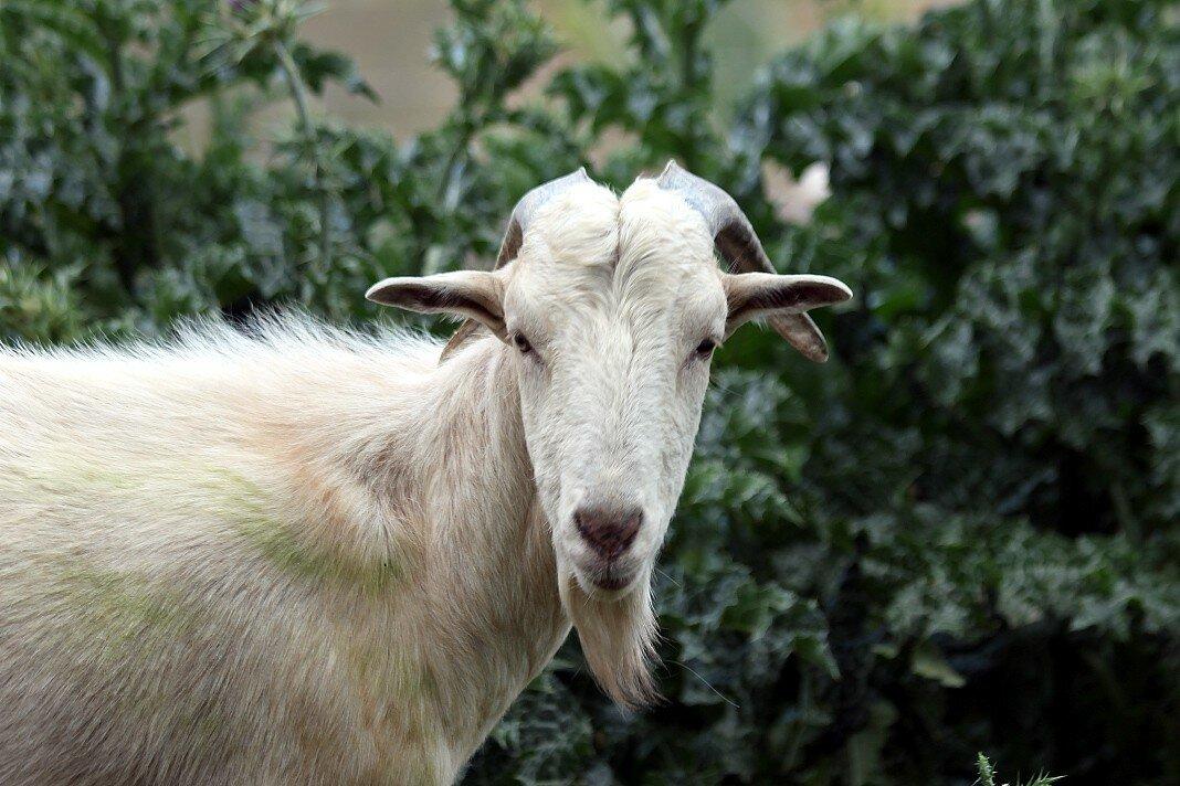Ронда. Горные козы