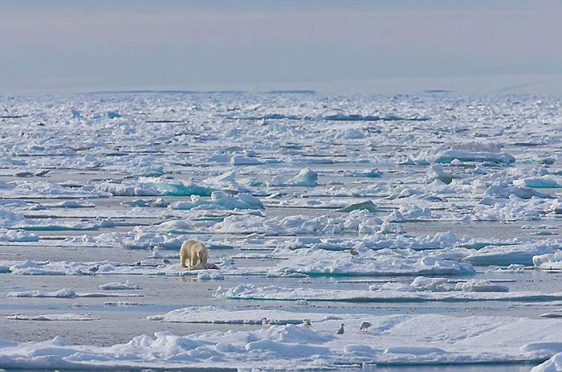 5. Каннибализм становится все более распространенным явлением среди белых медведей. Из-за таяния льд