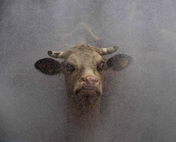 Лучше не подходить близко к корове.