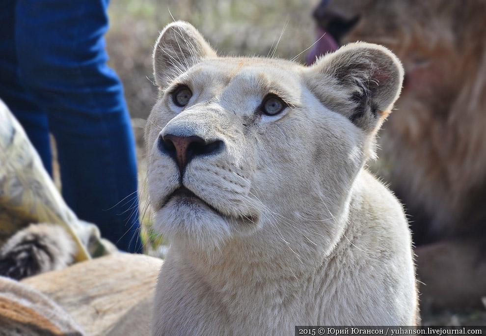 Львы продолжают подтягиваться с самых отдалённых уголков парка