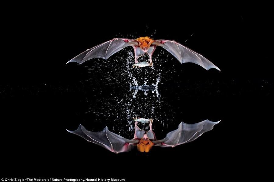 8. Всплеск. Рыбоядная летучая мышь, также именуемая летучим бульдогом, вылавливает из воды свой ужин