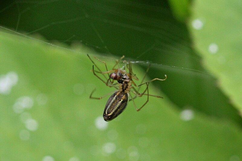 Самка паука Тетрагната сосновая (Tetragnatha pinicola, Паук вытянутый серебряный, Silver stretch-spider) поедает свою жертву, пойманную в ловчую сеть из паутины
