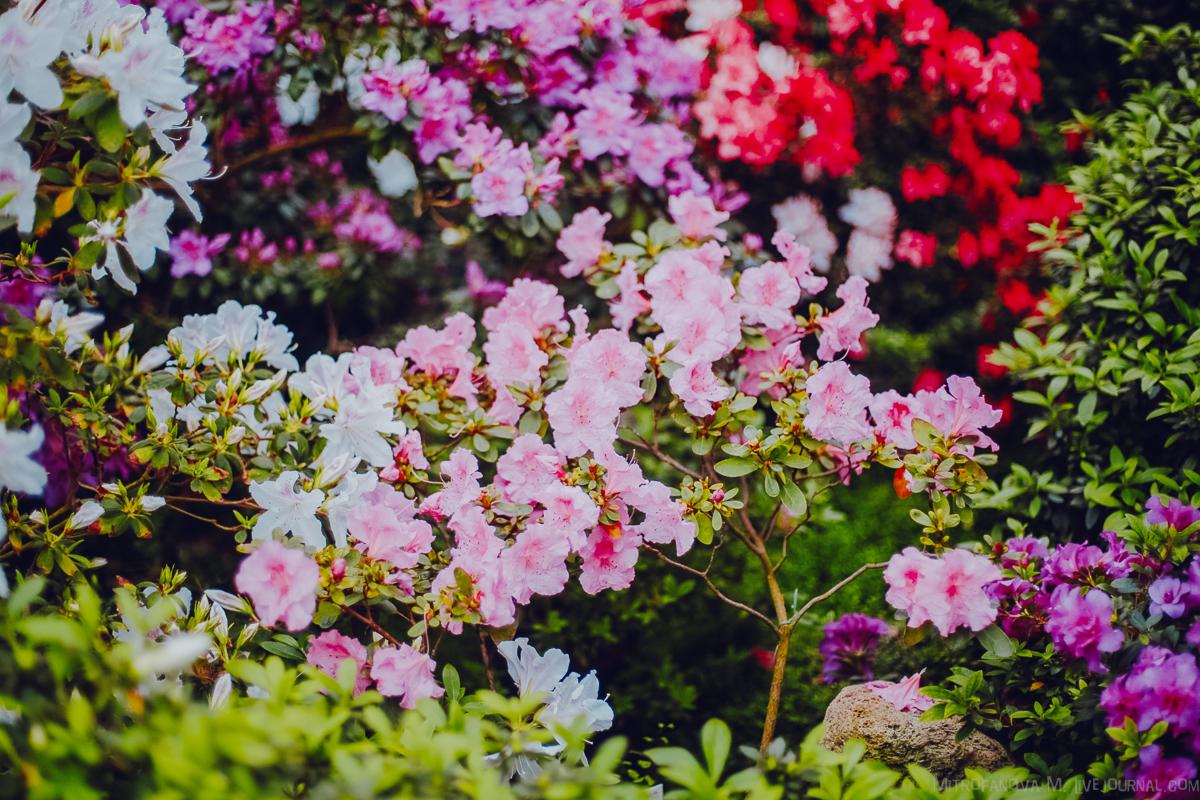 Ботанический сад: цветение азалий