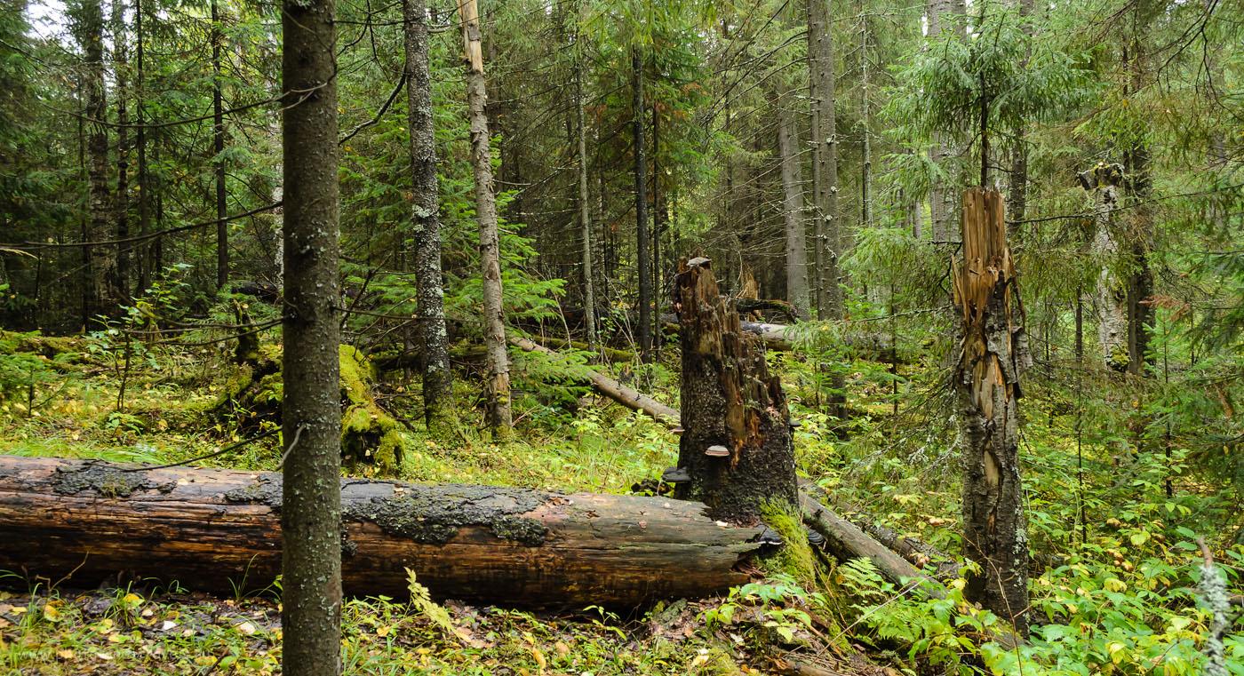 Дремучий лес по берегам Бездонного озера. 1/30, 8.0, 18, 500.