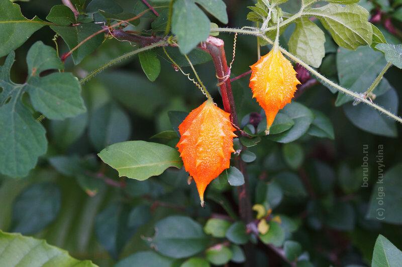 Момордика (Momordica charantia)