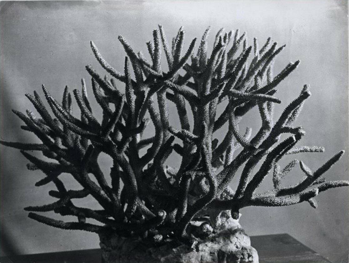 1932. Окаменевший коралл
