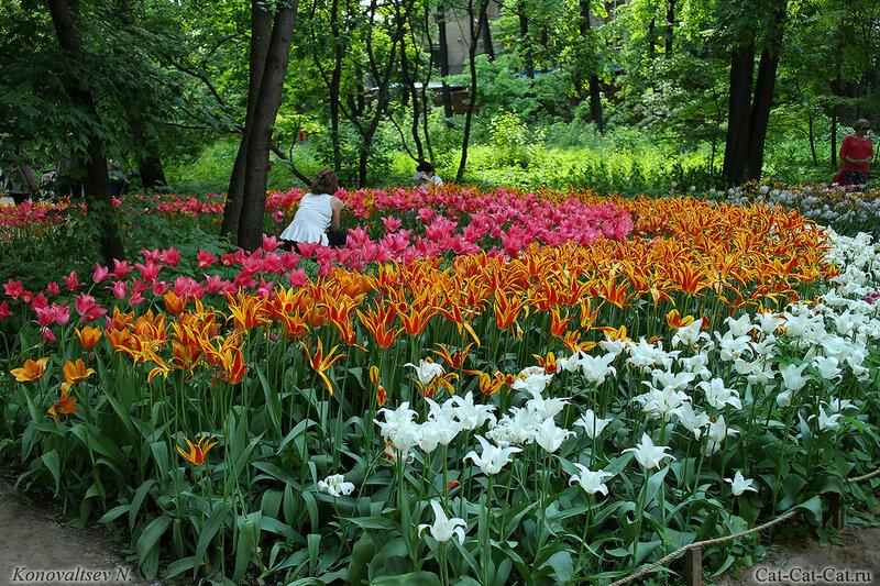 Тюльпаны, Аптекарский огород