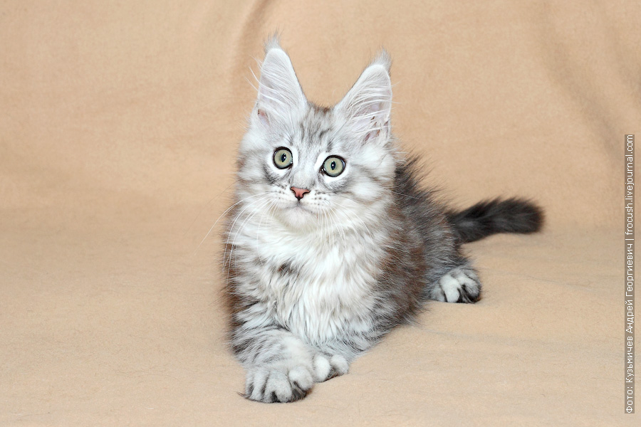 котенок Мейн-кун питомник