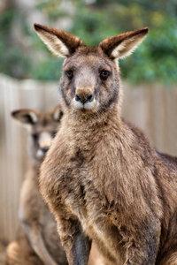 Портрет кенгуру