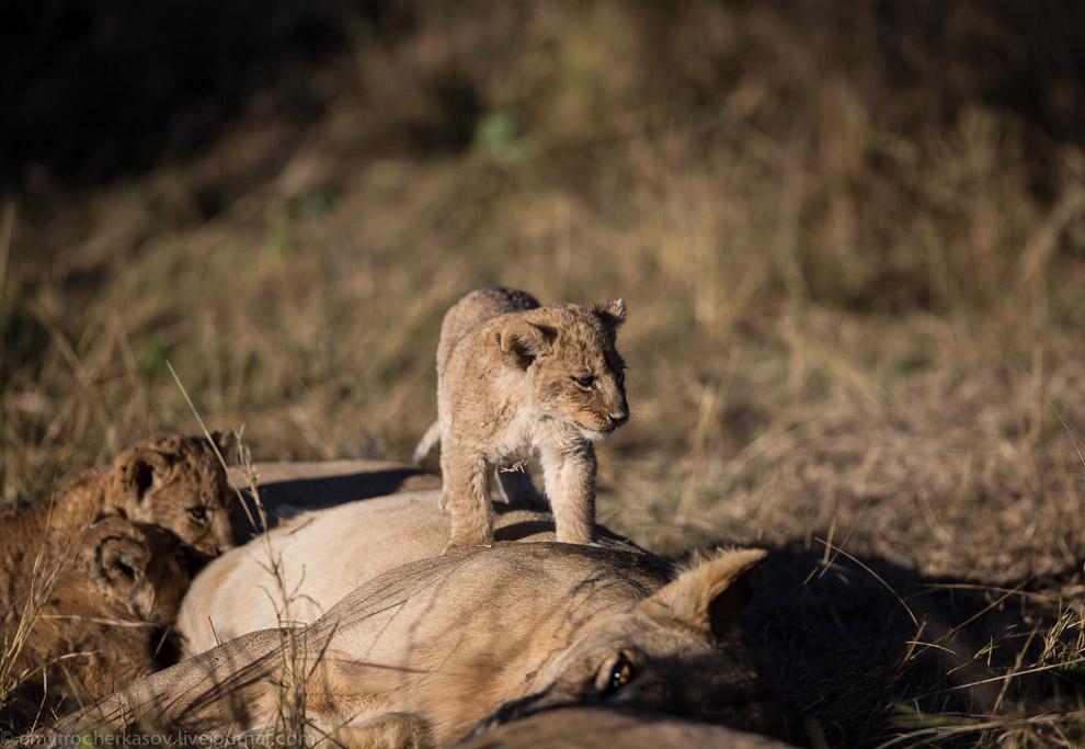 7. Взрослые львы всегда отдыхают в стороне от основного прайда. Так их меньше беспокоят остальные.