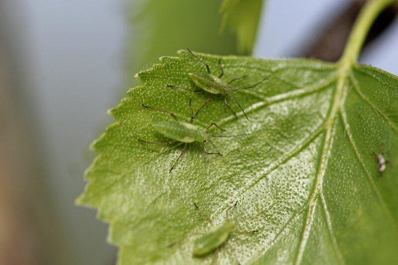 Тли (лат. Aphidoidea) на листке дерева