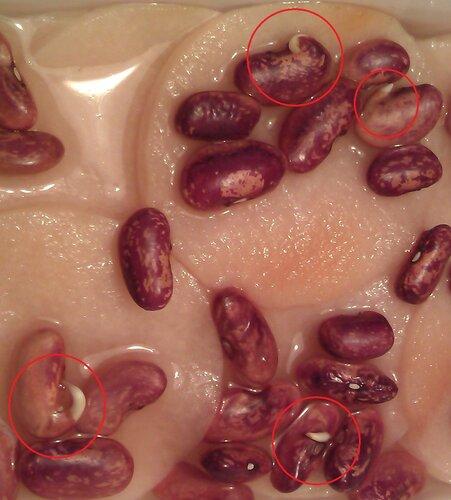 Проросшие фасолины в образце №3