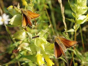 s:бабочки,c:оранжевые,c:красные или оранжево-жёлтые