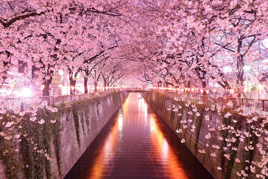 Тоннель и цветущих сакур (Япония).
