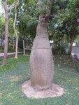 28. Бутылочное дерево.jpg