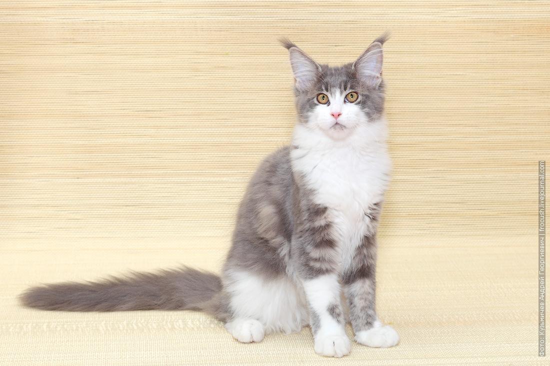 из питомника в Москве котенок Мейн-кун
