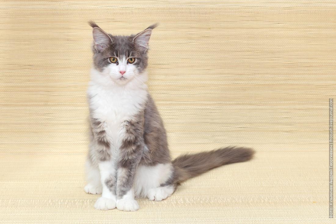 котенок Мейн-кун питомник Москва
