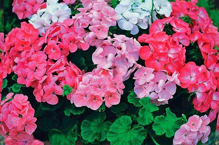 Герани что за цветок