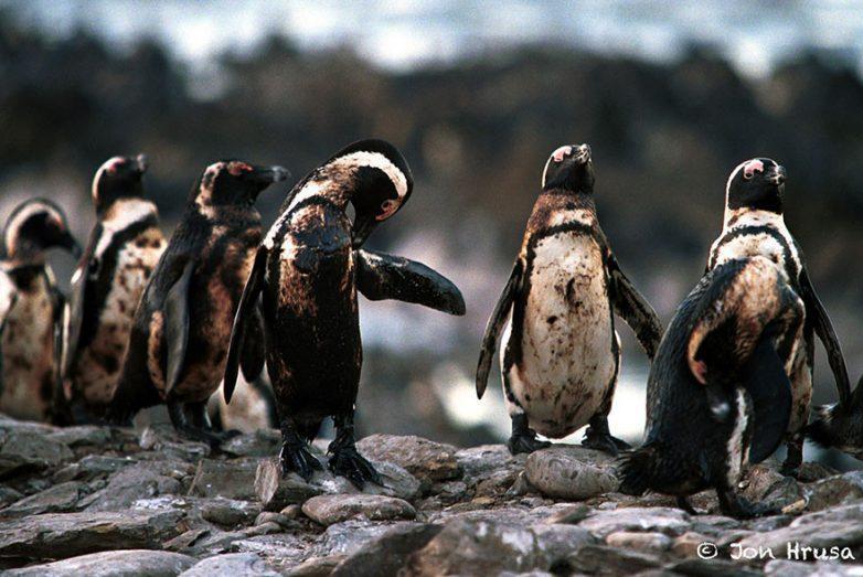 8. Пингвины, испачканные нефтью