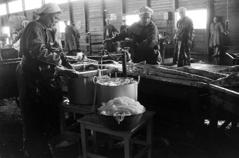 Работники комбината очищают свежевыловленного осетра.