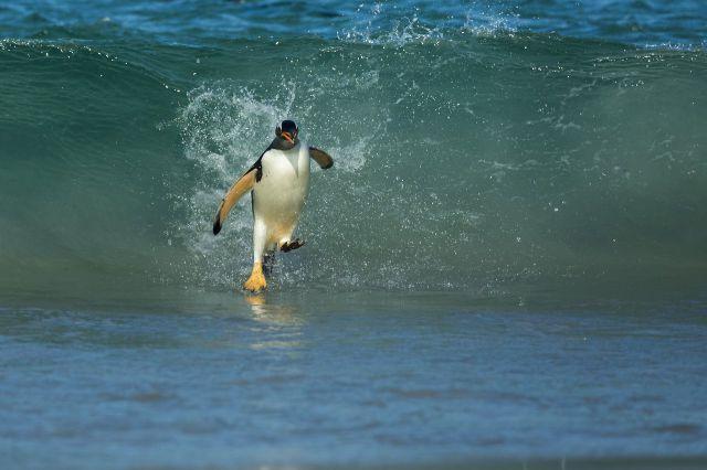 Пингвин явно увлекается серфингом.