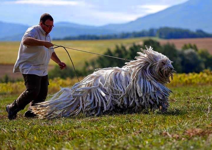 50 собак внушительных размеров, которые не осознают, насколько они огромны