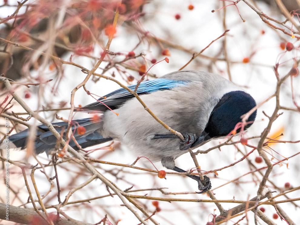 Тихий океан сороки голубой голуби друг птицы ледники птица