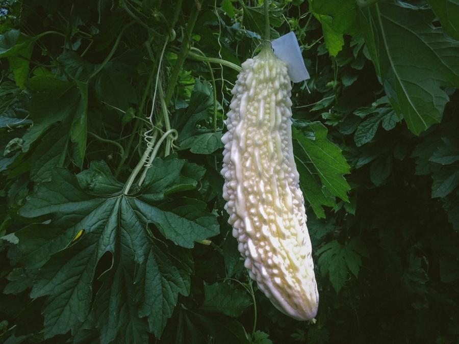 Сибирские ученые предложили дачникам выращивать экзотические овощи: момордику, кивано, бенинказу, вигну, люффу и трихозант.