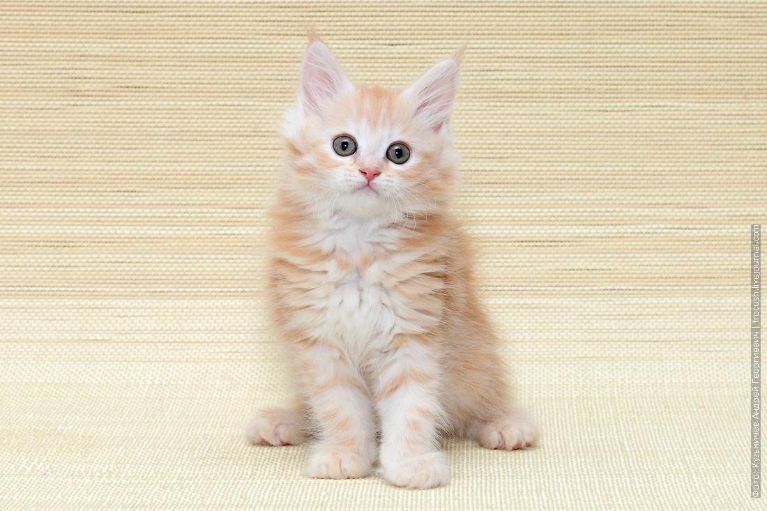 мейн кун котенок купить